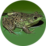 Frogs <br> (Magainin, 1987)